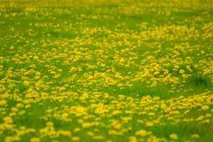 Field of dandelion Royalty Free Stock Photos