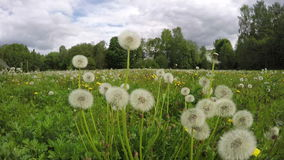 Field of dandelion seed heads, time lapse 4K stock footage