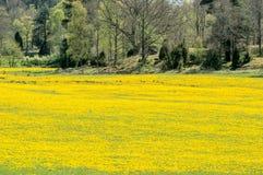 Field of dandelion Stock Photos