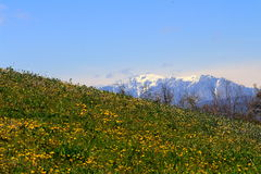 A field of dandelion (taraxacum officinalis). A field of dandelions and a mountain full of snow in the background Royalty Free Stock Photos