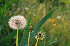 Field of dandelions. Romantic background stock photos