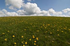 Field with dandelions Stock Photography