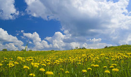 Field of dandelions Stock Photography