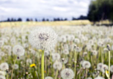 Field of dandelions Royalty Free Stock Image