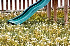 Field of Dandelions. A child's sliding board in a filed of dandelions Royalty Free Stock Images