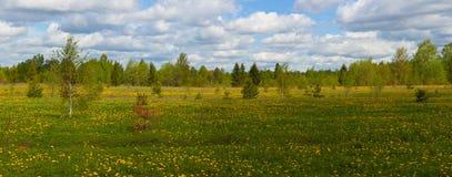 Field of dandelions Stock Image