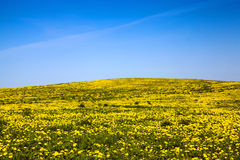 Field of dandelions. Field on which grow up dandelions. spring Stock Image