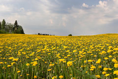 Field of dandelions. Yellow Royalty Free Stock Photo