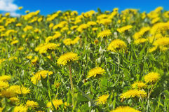 Field of Dandelions. A dandelion field at the recreation park stock photo