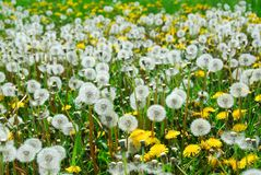 Field of dandelions Royalty Free Stock Photos