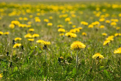 Field of dandelions Stock Images
