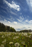 Field of dandelions. Under a blue sky with windswept clouds Royalty Free Stock Photos