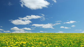 A field of dandelions. Blowball field, summertime,time lapse clip stock video footage