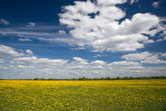 Field of dandelions and blue sky with clouds Royalty Free Stock Photos
