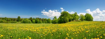 Field with dandelions and blue sky Stock Images