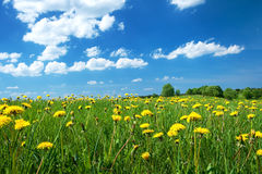 Field with dandelions and blue sky Royalty Free Stock Images