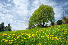 Field with dandelions and blue sky Royalty Free Stock Photos
