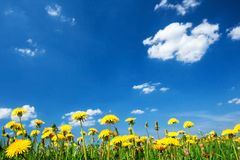 Field with dandelions and blue sky Stock Photos
