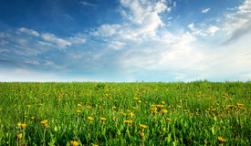 Field with dandelions and blue sky Stock Image