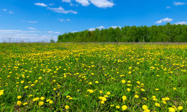 Field with dandelions and blue sky Stock Photography