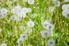 Field of dandelions. Close up of a field filled with dandelions Royalty Free Stock Photos