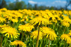 Field of dandelions Royalty Free Stock Images