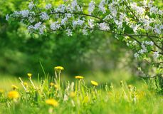 Field with dandelions. Closeup of yellow spring flowers royalty free stock images