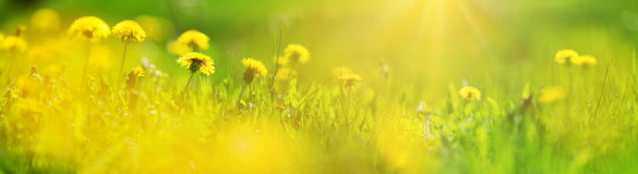 Field with dandelions. Closeup of yellow spring flowers Stock Photo