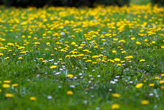 Field of dandelions and daises.  Stock Image