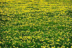 Field of Dandelions Dandelion Yellow Flowers royalty free stock images