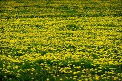 Field of Dandelions Dandelion Yellow Flowers Royalty Free Stock Photo