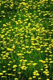 Field of Dandelions Dandelion Yellow Flowers Stock Photos