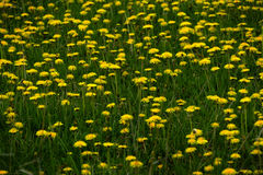 Field of Dandelions Dandelion Yellow Flowers Stock Photography