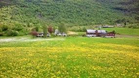 Field of dandelions in flower Stock Photos