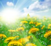 Field with dandelions flowers, butterflies and sun in blue sky landscape. Greeting card template. Shallow depth. Soft toned. stock images