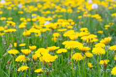 Field of dandelions in grass Stock Photo