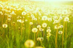 Field of dandelions. Green summer meadow with dandelions at sunset.  royalty free stock images