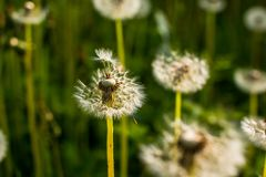 Field of dandelions. Green summer meadow with dandelions at sunset.Selective focus Stock Images