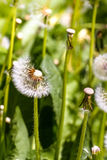 Field of dandelions have flown with parachutes. Royalty Free Stock Image