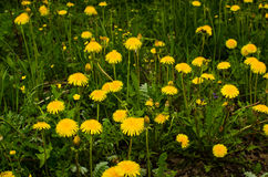 Field of dandelions Royalty Free Stock Photo