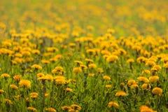 Field of yellow dandelions stock image