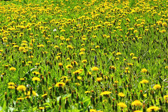 Field of dandelions. Millions of yellow dandelions growing in field Royalty Free Stock Images