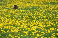 Field of Dandelions with an Old Basket Stock Photo