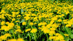 A field of dandelions. Field of dandelions in the old garden on a hot summer day Stock Images