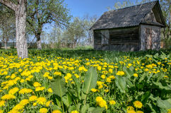 Field of dandelions and old house. Field of dandelions and an old house in the spring, in Mayn Stock Images