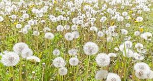Field of dandelions, Stock Photos