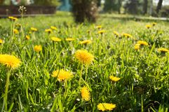 Field of dandelions in the park. The sun shines on yellow dandelions in field of the grass and flowers stock image