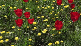 Field of dandelions and red tulips blooming stock video footage