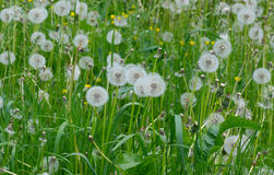 Field with dandelions Royalty Free Stock Photos