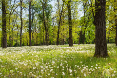 Field of dandelions in the spring morning green forest Royalty Free Stock Images